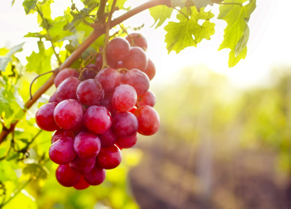 Resveratrol is the Anti-Aging Supplement You've Been Looking For